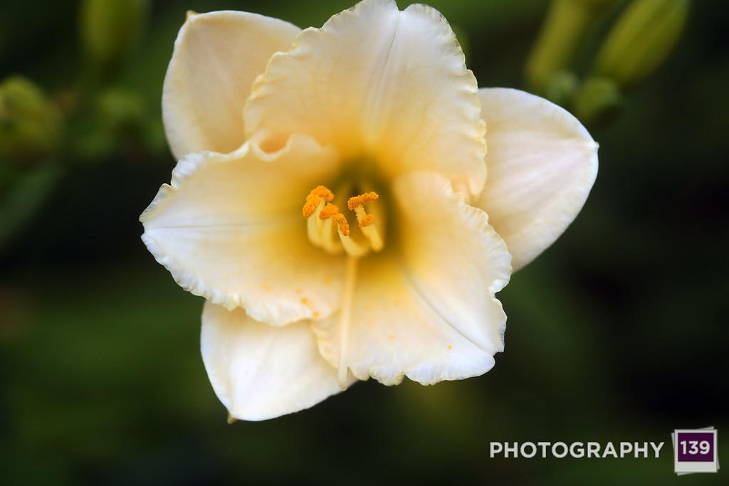 Iowa Arboretum Lily