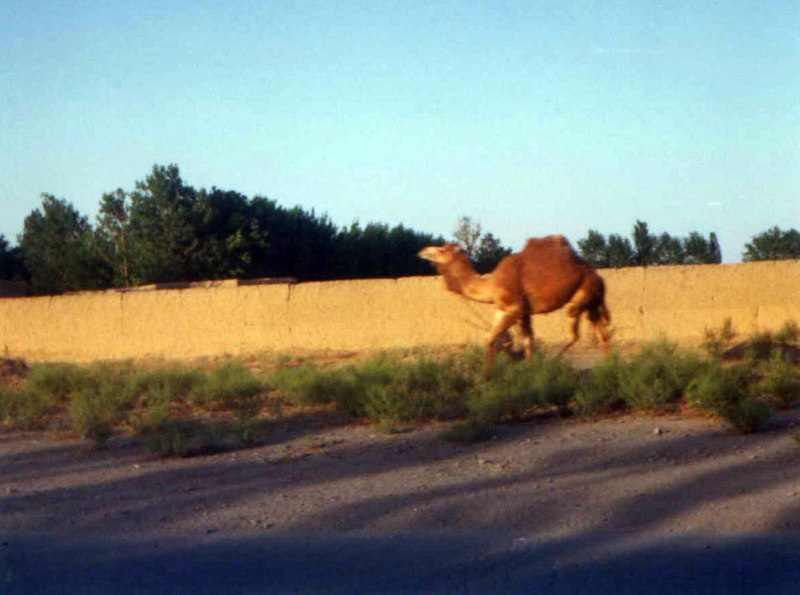 I had been told by native Iranians that there aren't any camels in Iran, but I saw this camel on my way from the Teheran airport to the hotel.