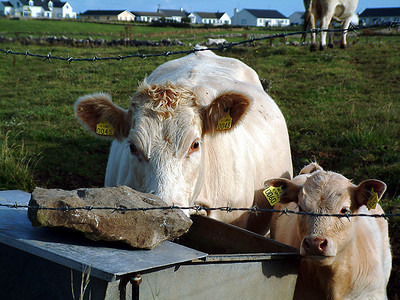 Bundoran - Cute cows in the pasture