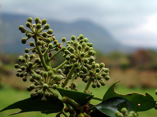 Drumcliff - Foliage before county Sligo mountains