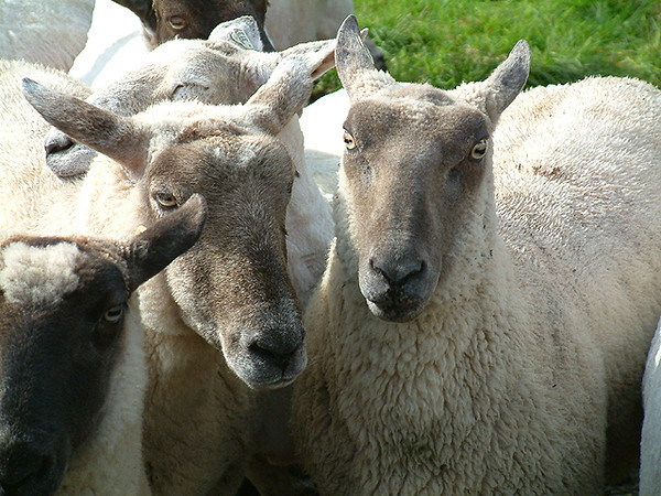 Rathbaun Farm - Silly Sheep