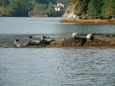 Garinish Island - Seals