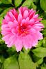 0161 Rose in  Garden at Muckross House, Ireland
