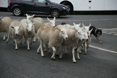 Some friends being herded and stopping traffic.