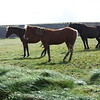 Horses at Kilkee Cliffs
