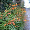 Firecracker Flower on road to Deer Park House