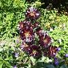 Aeonium arboreum var. atropurpureum - Black Tree Aeonium