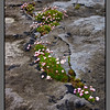 Blooming in the cracks<br /> Flowers on limestone, Killeany