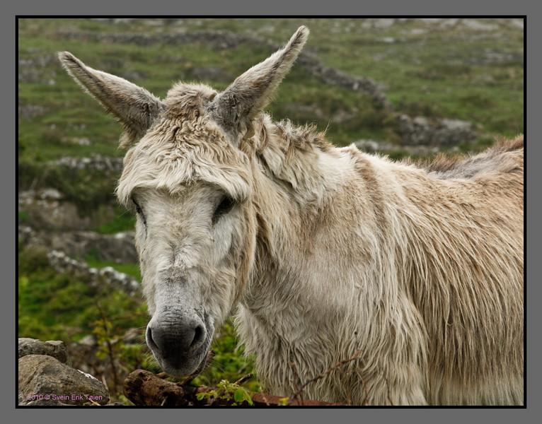 Donkey of Aran