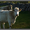 Aran cattle