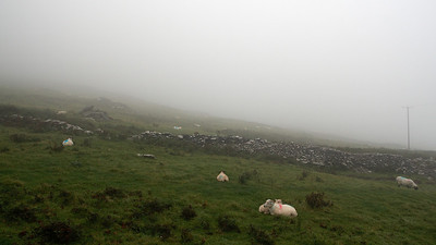 Irish sheep in the irish fog.