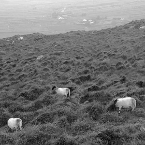 Black and white irish sheep.