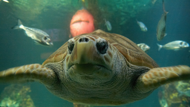 Mr Turtle looks grumpy and lives in the Dingle Aquarium. He'll be set free once he's doing better.