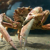 There are also crabs in Dingle Aquarium. And there are plenty of others in the restaurants.