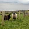 Sheep. Baa.