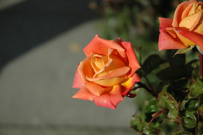 Some of the breathtaking roses there.