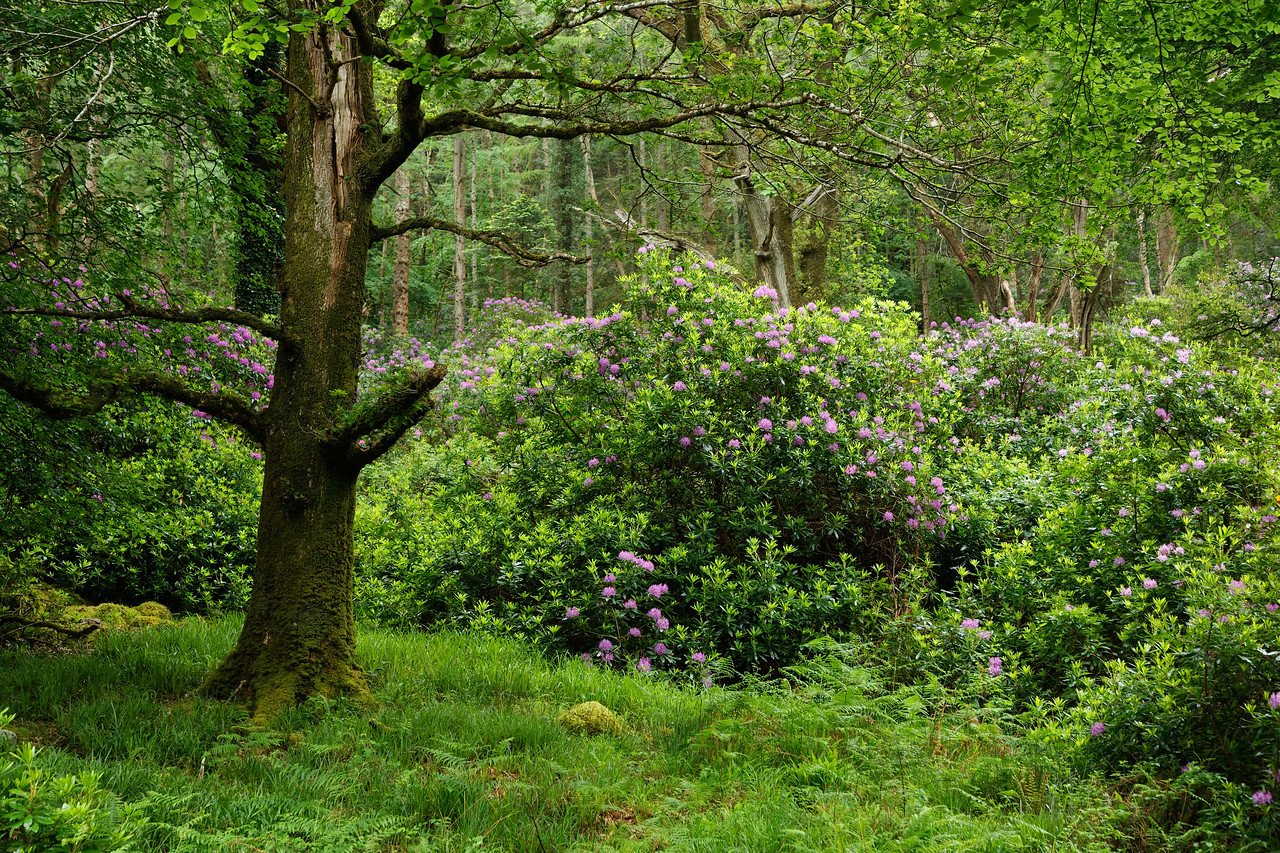 Rhododendron, Killarney National Park