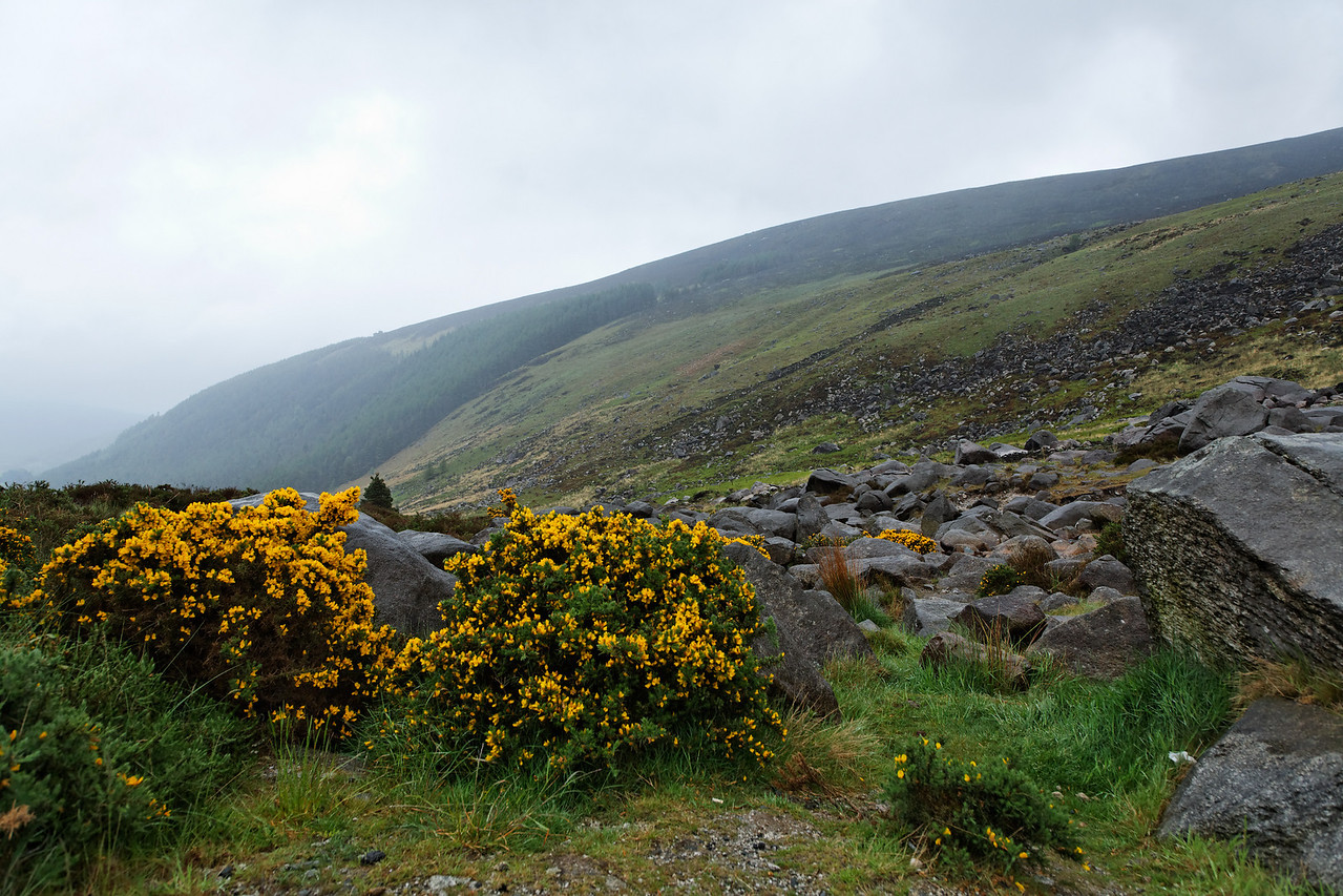 Wicklow Gap and flowering Gorse