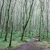 Natural landscape of tall spindly trees with low green ground cover and walking tracks on damp misty morning