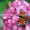 Beautiful butterfly of peacock species sitting on bright pink hydrangea.