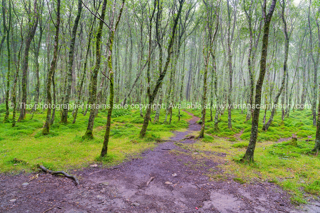 Tall thin lichen covered trees with paths through them into mist and bright green mossy ground cover.