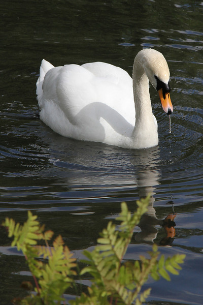 Drooling swan in a pond at Irish National Stud.