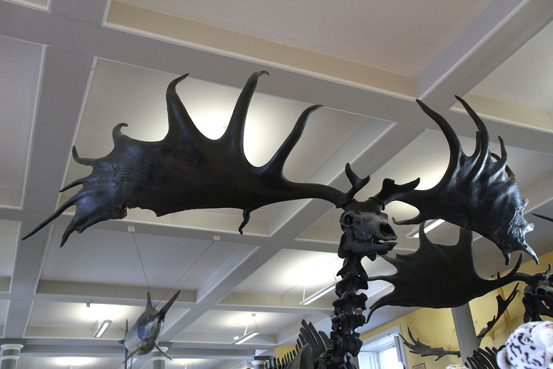 Irish Elk, extinct.  Natural History Museum in Dublin.