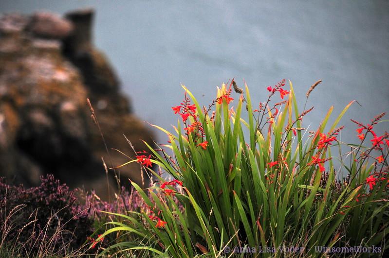 Flowers (needs ID) above Balscadden Bay - Howth Head
