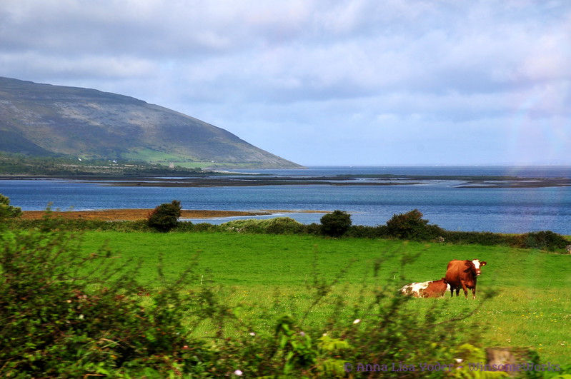 Cows grazing near Galway Bay