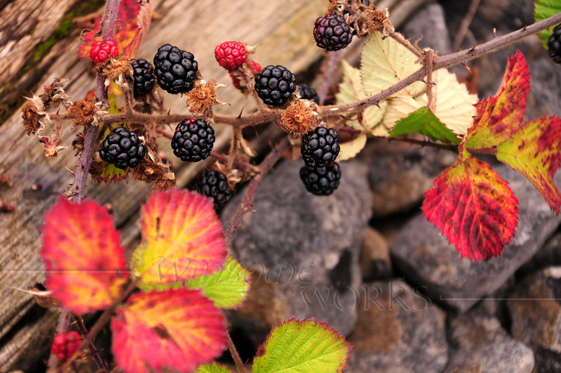 Blackberries along the Rail Trail between Athlone and Moate