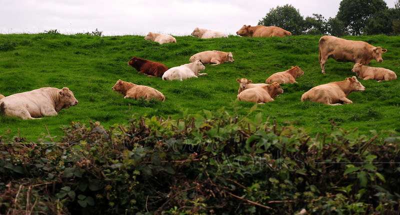 Cattle seen along the Rail Trail between Athlone and Moate
