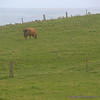 Cow grazing near the top edge of Cliffs of Moher