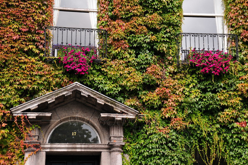 "Ivy on the ""Little Dublin Museum"""