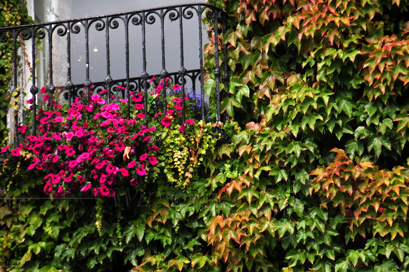 """Close-up of Ivy on the """"Little Dublin Museum"""""""
