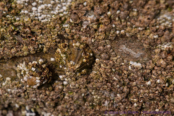 Barnacles on the quay wall - Inis Oirr