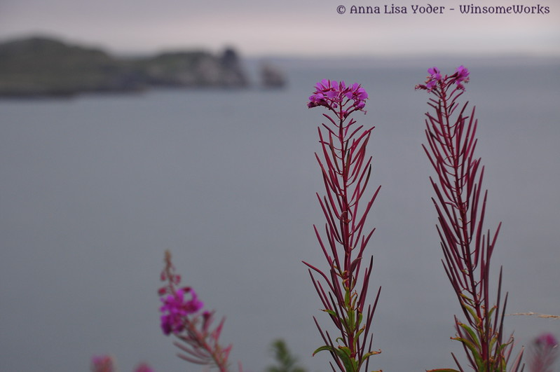 Fireweed along Howth Cliff Path, with Ireland's Eye in distance
