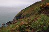 Gorse & bracken on cliffs at Howth Head, on Irish Sea