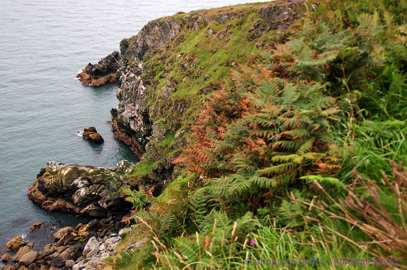 Cliffs & bracken above Balscadden Bay, seen from Cliff Path on Howth