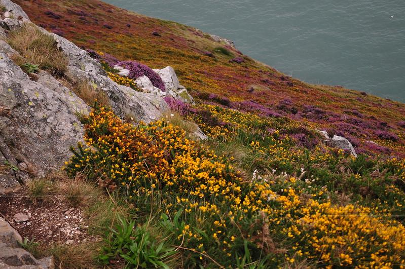 Heather, gorse, bracken & limestone along Cliff Path - Howth