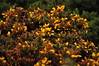 Gorse along Howth  Cliff Path