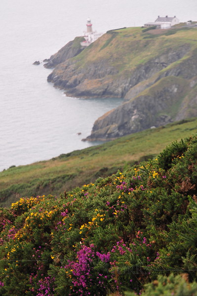Heather & gorse on the moor,  Baily Lighthouse in background