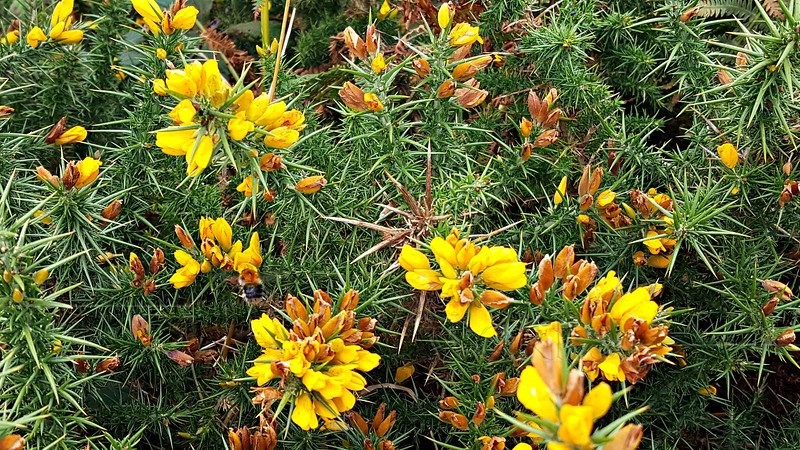 Gorse, or Ulex, on the moor on Howth