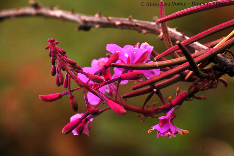 Fireweed or rosebay willowherb (Chamerion angustifolium or Epilobium angustifolium) on the moor on Howth head