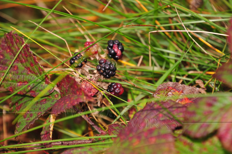 Blackberries growing on the moor - Howth head