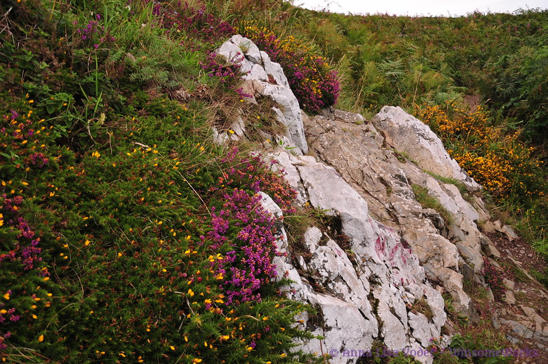 Limestone, heather & gorse along Cliff Path - Howth