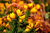 Gorse closeup -  seen from Cliff Path