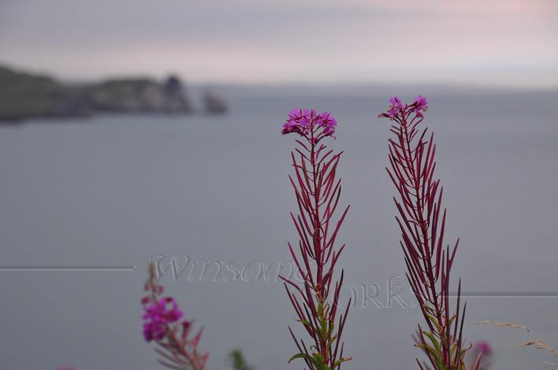 Fireweed, Ireland's Eye & Balscadden Bay from Cliff Path - Howth Head