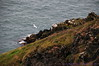 Gull along above Balscadden Bay, seen from Cliff Path on Howth