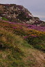 Kilrock, heather & gorse - Cliff Path, Howth Head