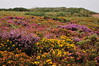 Heather & gorse on the moor, Howth head
